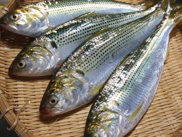 熊本で発見!聞いたこともなかった魚は江戸前寿司のネタの成長した姿だった!