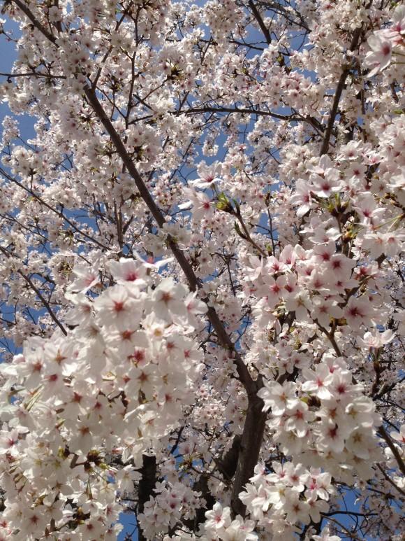 熊本の桜の名所お花見01