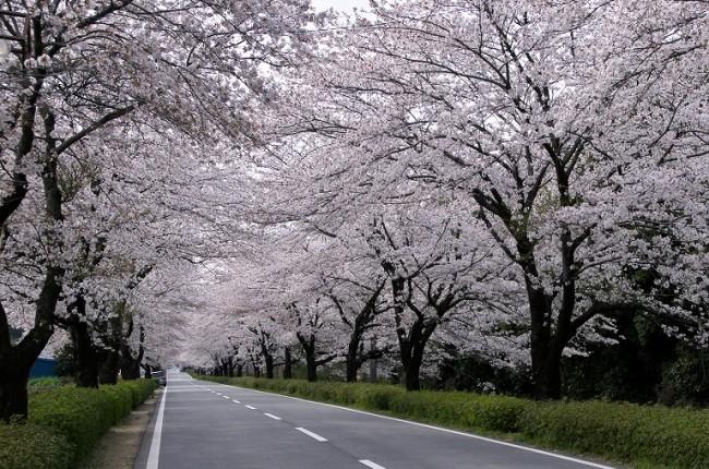 「大津フラワーロード 桜」の画像検索結果