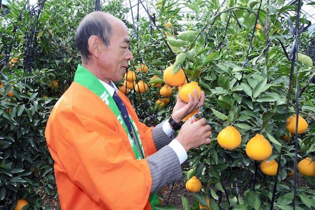 【熊本ニュース】味に自信あり!デコポン出荷へ 天草市で収穫祭