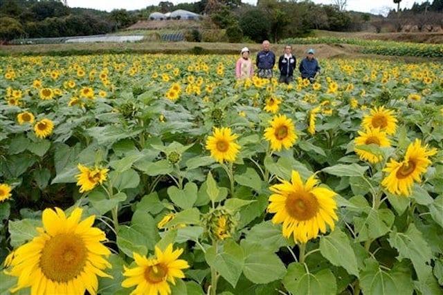 【熊本ニュース】秋なのに?3万本のヒマワリ見ごろ 大津町の仮宿地区