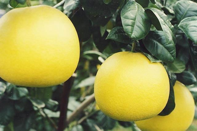 おいしいと評判の『晩白柚(バンペイユ)』の『瀧川果樹園』さんにインタビューしてみたら全国にファンを抱えているすごい農家さんだった。