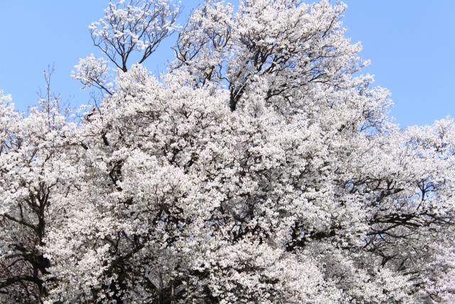 日本で最も美しい桜「一心行の大桜」がもうすぐ開花! − 熊本県阿蘇郡南阿蘇村
