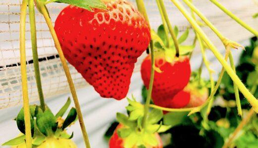 熊本のイチゴ狩りの名所『なかはた農園』で…イチゴ食レポ&楽しみ方ガイド!