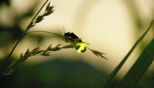 熊本県で蛍(ホタル)が見れるおすすめの名所9選!スポットと時期と蛍の種類をご紹介!