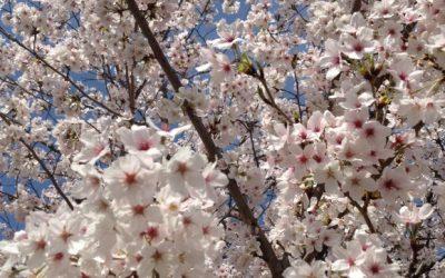 【熊本県の桜名所】熊本城や一心行の大桜だけじゃない!67ヶ所もある!お花見ガイド・おすすめスポット2016